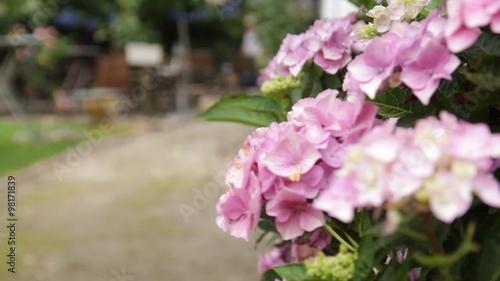 hortensie busch mit pinken bl ten im garten an einem weg. Black Bedroom Furniture Sets. Home Design Ideas