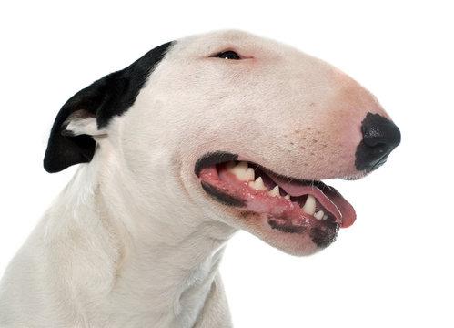 female bull terrier