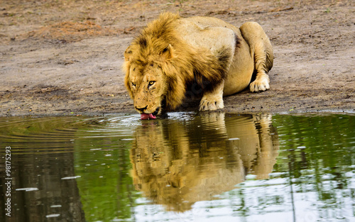 reflection of a drinking male lion