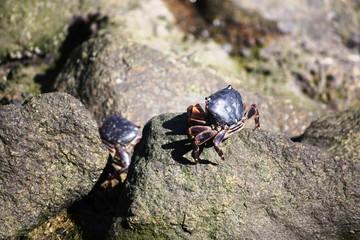 Shore Crab in Monterey Bay California, USA