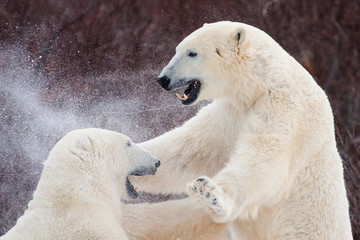 upper bodies of two polar bears fighting and punching; drool and snow flying through the air