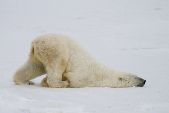 a silly polar bear pushes across the snow on his belly.