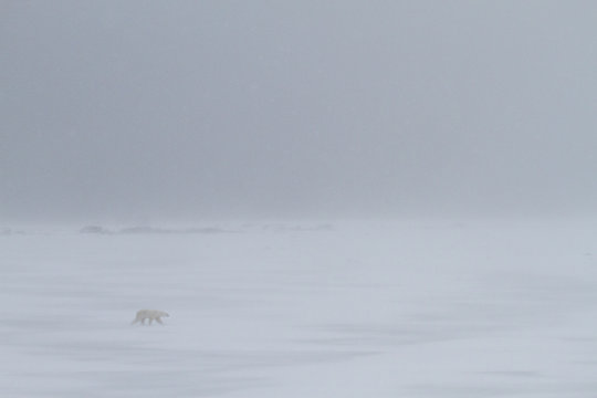 landscape of a polar bear walking into the headwind of a whiteout snowstorm
