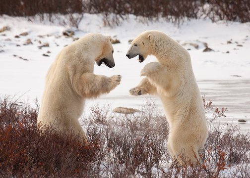 two polar bears facing off, standing on hind legs preparing to grapple like sumo wrestlers; standing against white snow and red bushes