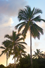 Tropical Palms at sunset on St Thomas Island, Virgin Islands, USA. Palms trees against a bright tropical sunset.