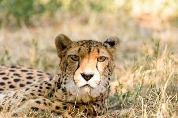 Wild Cheetah In Africa Savanna