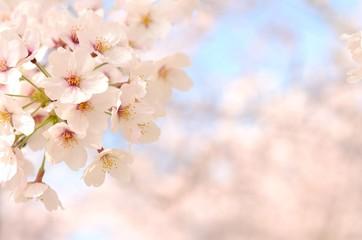 桜の花 青空背景