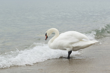 Swan on the lake shore