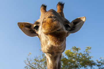 Giraffe making funny face