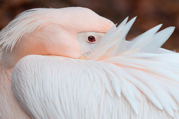 Great white pelican close-up