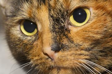 Tortoiseshell cat closeup portrait