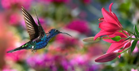Fototapeta premium Męskie fioletowe sabrewing (Campylopterus hemileucurus) podczas lotu