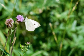 White butterfly sitting on the thistle