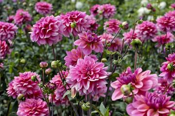 Photo sur Plexiglas Dahlia dahlia farm garden