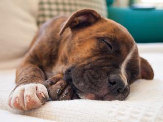 A brindle puppy pitbull sleeping