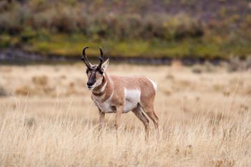 Antelope grazing in open field.