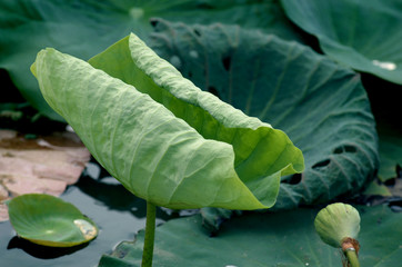 leaves of lotus