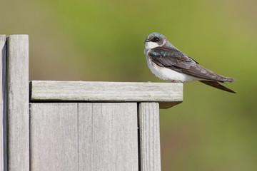 Fotoväggar - Tree Swallow on a bird house