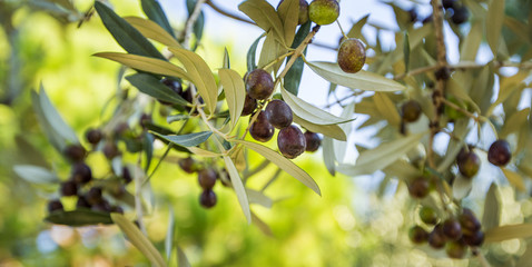 olives on the tree in sunny day in Italy