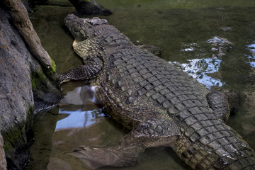 brown alligator resting on the sand beside a river