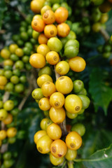 Yellow and green beans coffee on a tree.