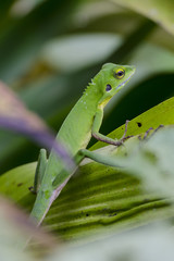 Chameleon in green bushes - Green chameleon on the branch with shallow DOF.