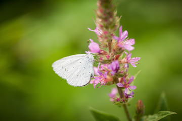 Small white side