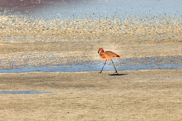 The James's flamingo, also known as the puna flamingo, is a species of flamingo that populates the high altitudes of Andean plateaus of Peru, Chile, Bolivia and Argentina.