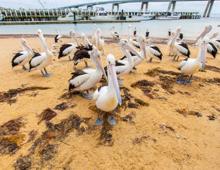 Many pelicans on the beach of San Remo, Australia