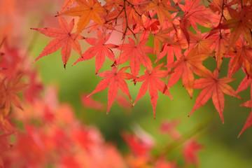 Vibrant Japanese Autumn foliage