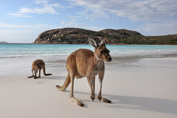Photo sur Plexiglas Kangaroo Kangourou Cape Legrand national park 6
