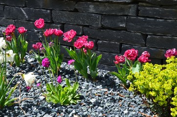 Tulpen blühen im Steingarten vor Steinmauer / Trockenmauer / Trockenbau