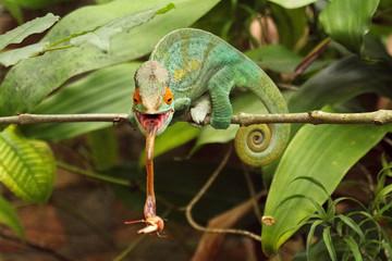 Camaleão em Madagascar