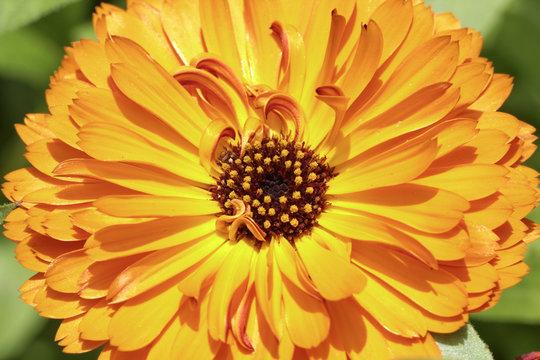Calendula officinalis, Pot Marigold, Ruddles, Common marigold, English marigold, ornamental flower in summer
