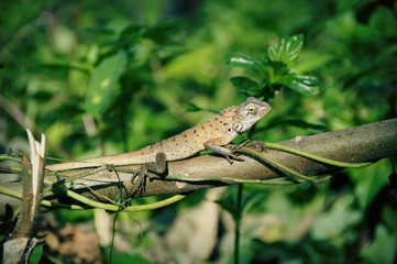 Hameleon.Thailand