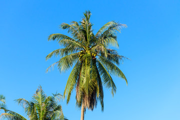 Coconut palm trees against blue sky