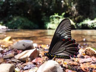 Borboleta preta com manchas amarelas e rosas em frente a um rio