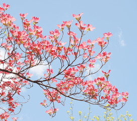 Red dogwood blossom