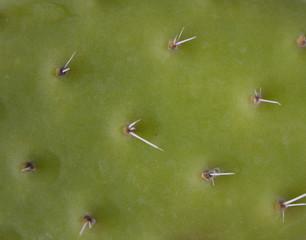 Thorns / Spikes on cactus plant macro