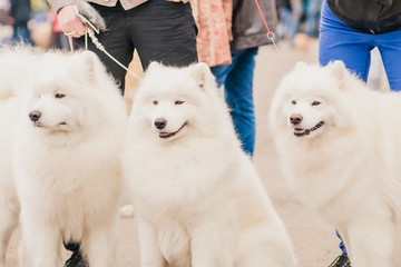 three dogs Samoyeds in exhibition