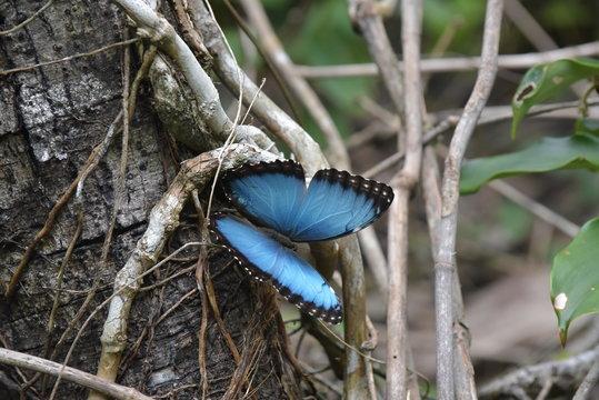 Die Schmetterlinge von Costa Rica entlang der Karibik