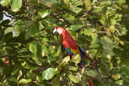 Die roten Aras von Herradura in Costa Rica