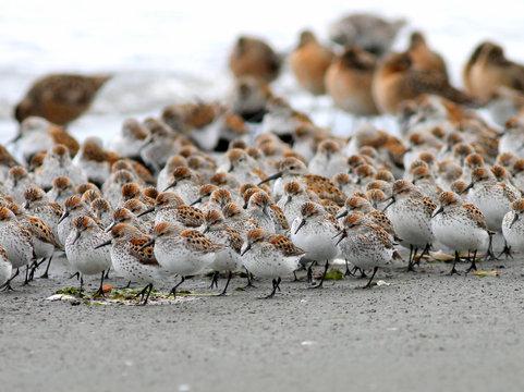 Shorebirds in a Crowd