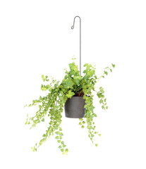 hanging basket plant isolated on white background
