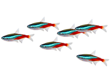 Swarm of Neon Tetra Paracheirodon innesi freshwater fish isolated