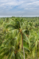 Coconut trees in Kerala, India