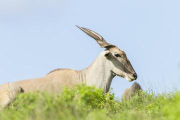 Wildlife Eland Buck Animal summer wilderness landscape