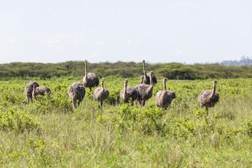 Ostrich birds flock wildlife wilderness summer.