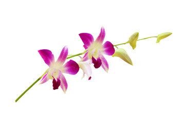 Orchids isolated on white background