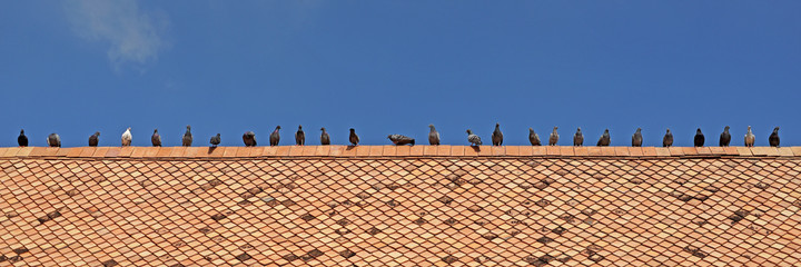 group of pigeon on roof